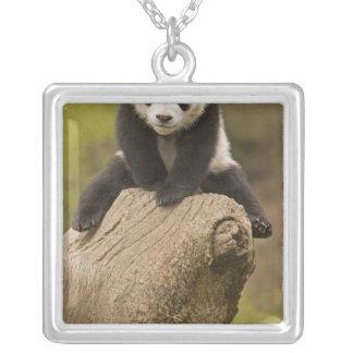 Reserva de la panda de Wolong, China, panda del Collar Plateado