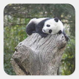 Reserva de Wolong, China, panda del bebé dormida Pegatina Cuadrada