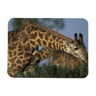 Reserva del juego de África, Kenia, Mara del Masai Imanes Rectangulares