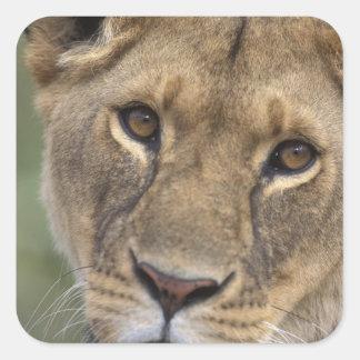 Reserva del juego de África, Kenia, Mara del Pegatinas Cuadradases