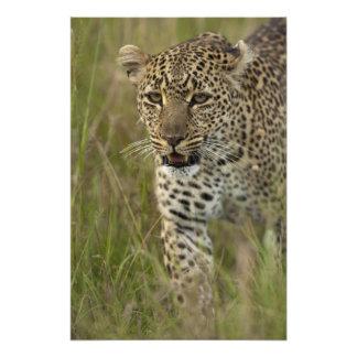 Reserva del juego de Kenia, Mara del Masai. Africa Cojinete