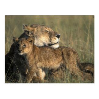 Reserva del juego de Kenia, Mara del Masai, leona Tarjetas Postales