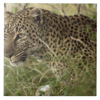 Reserva del juego de Kenia, Mara del Masai. Leopar Azulejo Cuadrado Grande