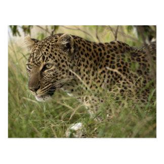 Reserva del juego de Kenia, Mara del Masai. Leopar Tarjetas Postales