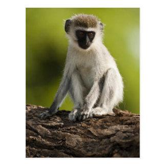 Reserva del juego de Samburu, Kenia, mono de Postales