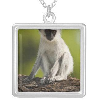 Reserva del juego de Samburu Kenia mono de Verve Grímpola