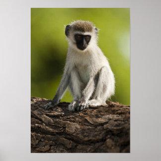Reserva del juego de Samburu, Kenia, mono de Verve Posters