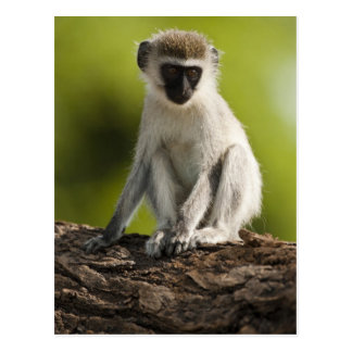 Reserva del juego de Samburu, Kenia, mono de Verve Postal