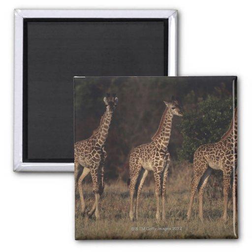 Reserva nacional 3 de Mara del Masai Imán Cuadrado