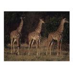 Reserva nacional 3 de Mara del Masai Postales