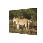 Reserva nacional de Mara del Masai, Kenia Lona Envuelta Para Galerias