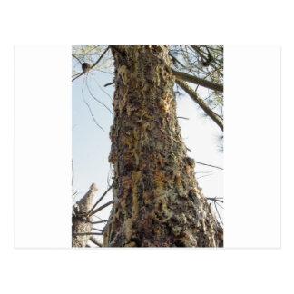Resina del árbol de pino en el tronco postal