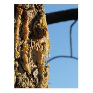 Resina del árbol de pino en el tronco postales