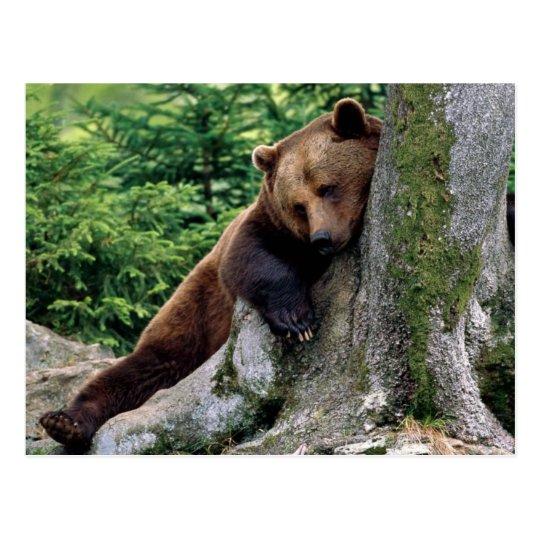 Restful Brown Bear Wildlife Series # 10 Postcard