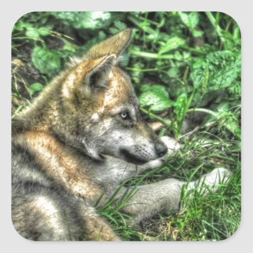 Resting Baby Wolf Pup Wildlife Photo Square Stickers