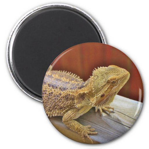 Resting Bearded Dragon 2 2 Inch Round Magnet