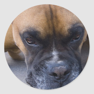 Resting Boxer Dog Stickers