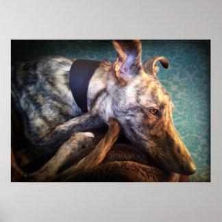 Resting Brindled Lurcher Sight Hound Poster