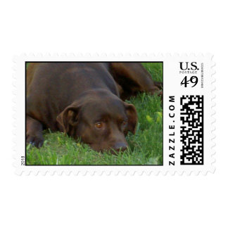 Resting Chocolate Lab Postage Stamp