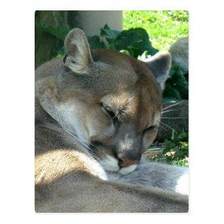 Resting Cougar Postcard