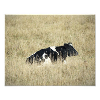 Resting Cow - Photograph