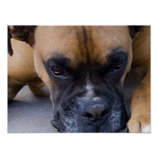 Resting Dog Boxer Poster