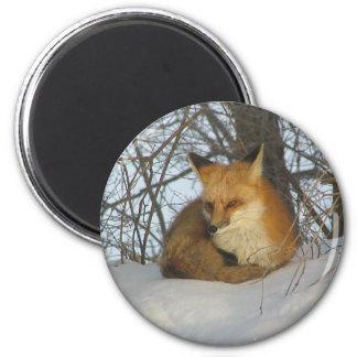 Resting Fox Magnet