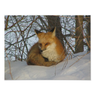 Resting Fox Poster Posters