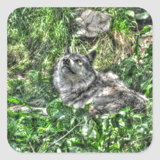Resting Grey Wolf & Grasses Wildlife Photo Square Sticker