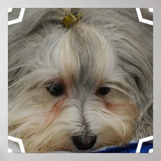Resting Havanese Dog Poster