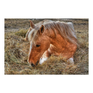 Resting Palomino Paint Horse and Hay Photo Poster