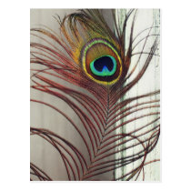 Resting Peacock Feather Postcard