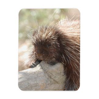Resting Porcupine Rectangular Photo Magnet