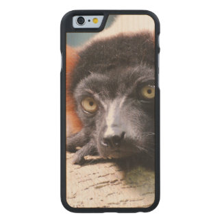 Resting Red Ruffed Lemur Carved® Maple iPhone 6 Case