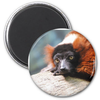 Resting Red Ruffed Lemur Magnet
