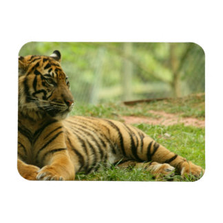 Resting Tiger  Flexible Magnet