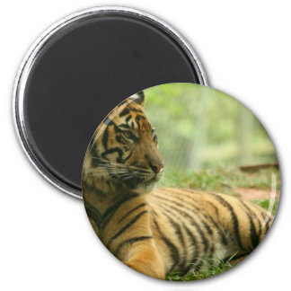 Resting Tiger  Magnet Fridge Magnet