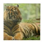 Resting Tiger  Tile