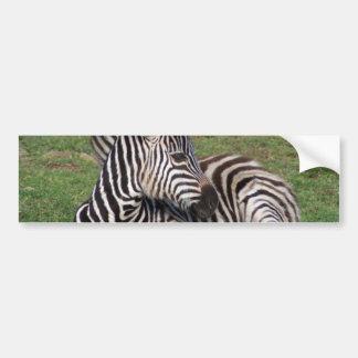 Resting Zebra Bumper Sticker Car Bumper Sticker