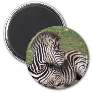 Resting Zebra Magnet