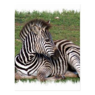 Resting Zebra Postcard