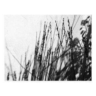 Restio / Grass black and while silhouette Postcard