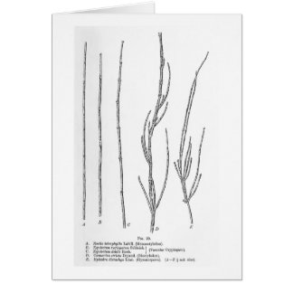 Restio tetraphylla art postcard