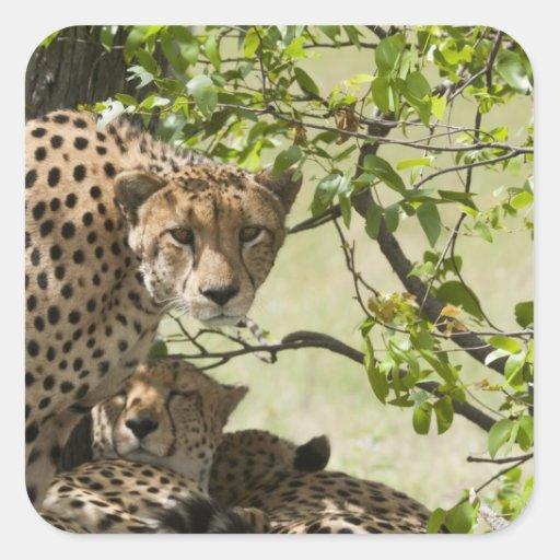 Resto de los guepardos en la sombra pegatinas cuadradases personalizadas