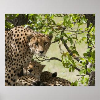 Resto de los guepardos en la sombra póster