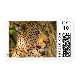 Restos adultos del leopardo (Panthera Pardus) Sellos