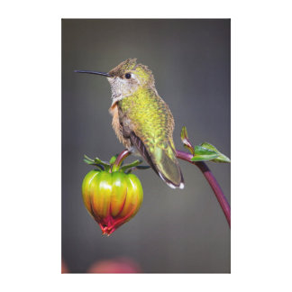 Restos del colibrí en el brote de flor lona envuelta para galerias