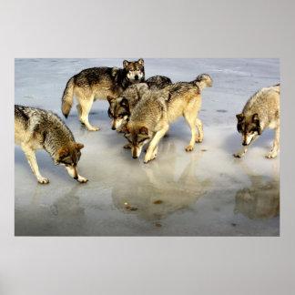 Resuelva la manada de lobos póster