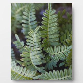 Resurrection Fern - Polypodium polypodioides Plaque