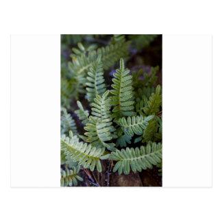 Resurrection Fern - Polypodium polypodioides Postcard